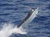 Marlin, Australia